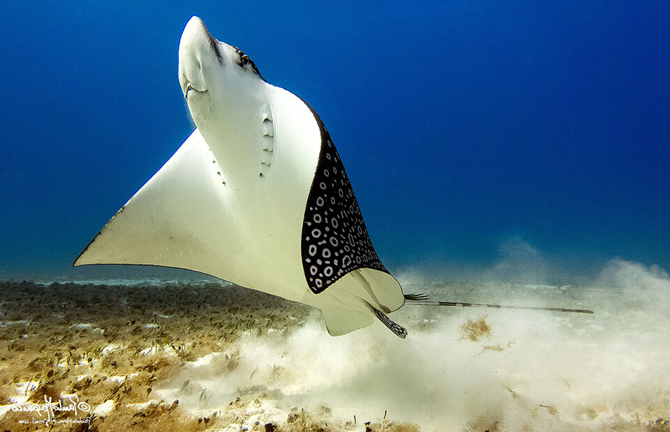 spotted-eagle-ray-swimming-up-Cuevas-25-Jan-2017.jpg